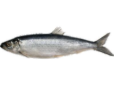 Купить продать рыбу оптом в кемеровской области